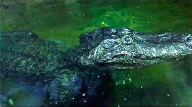Moskva láká na Hitlerova krokodýla