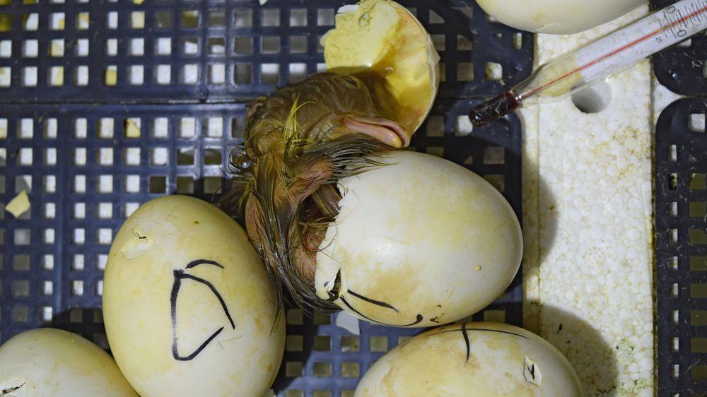 Britce se z vajec ze supermarketu vylíhla kachňata