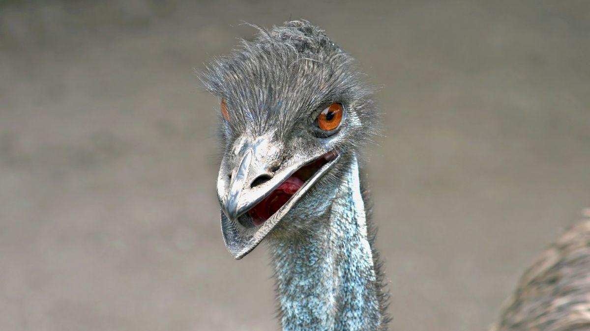 Za nevhodné chování si dva emuové vysloužili zákaz vstupu do hospody