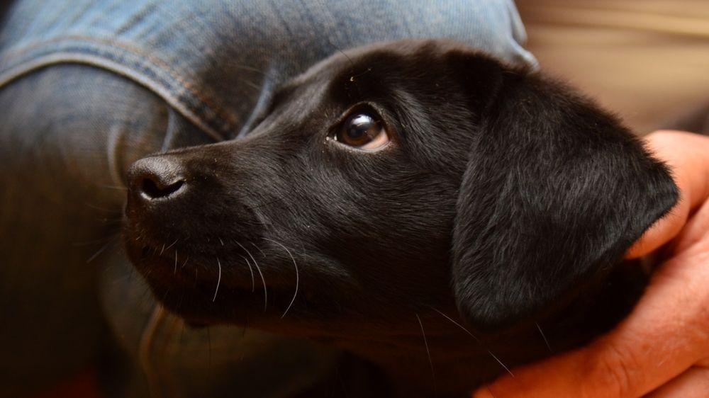 Fenka žlutého labradora přivedla na svět 13 černých štěňat