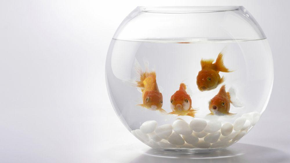 Pandemie koronaviru zabíjí také rybičky. Jinak, než byste čekali