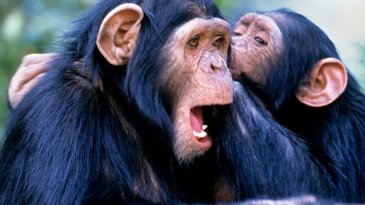 Šimpanzi si přátele vybírají stejně jako lidé