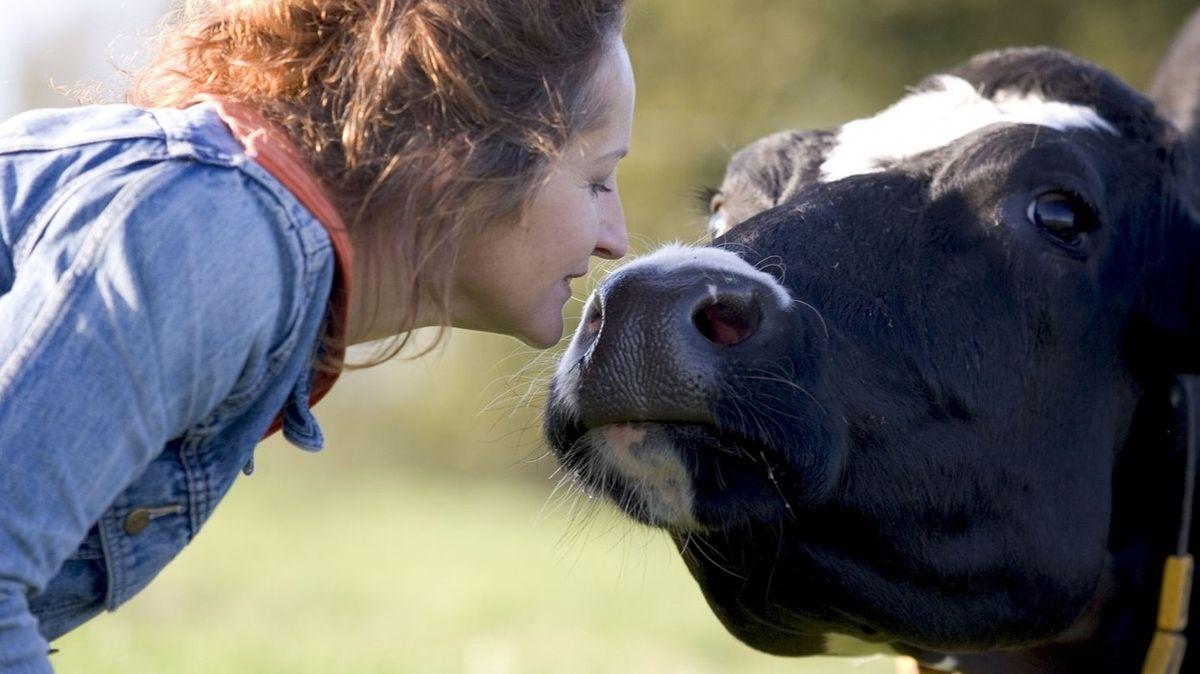Mazlení s krávou pomůže snížit stres, možná přijde i životní změna