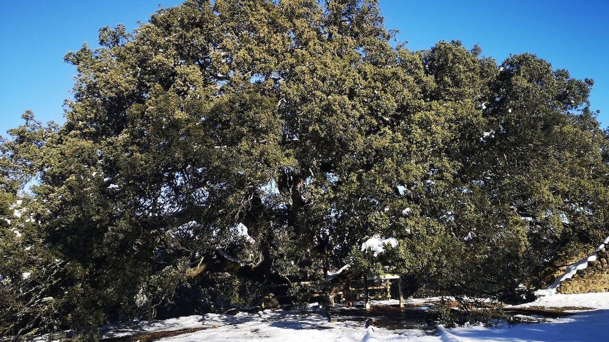 Evropským stromem roku se letos stal španělský Strom čarodějnic. Česká jabloň je sedmá