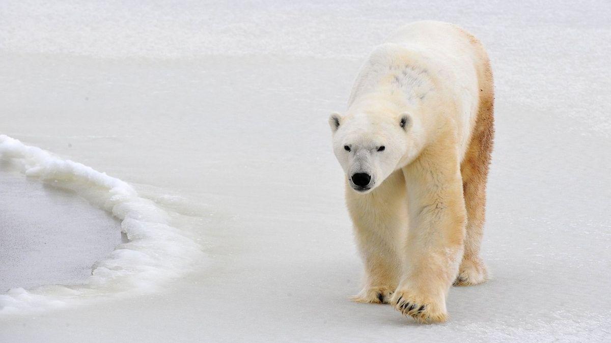 Lední medvěd se zatoulal 1000 kilometrů do vnitrozemí. Rybáři ukradl náčiní
