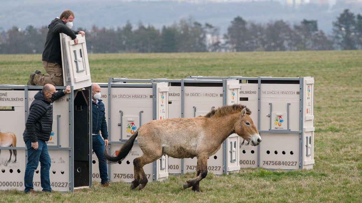 Klisny koně Převalského se prohánějí na pláni pražských Dívčích hradů
