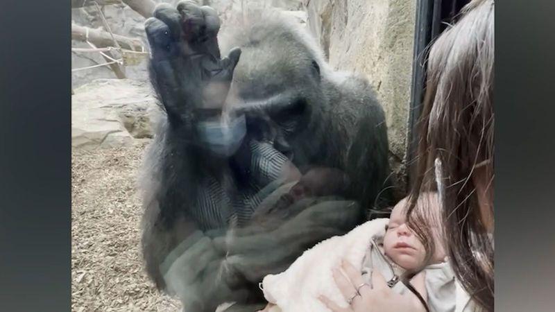 Žena a gorilí samice si v zoo navzájem ukazovaly své potomky