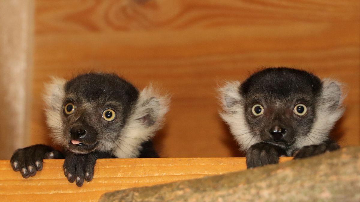 Plzeňská zoo zažila babyboom lemurů