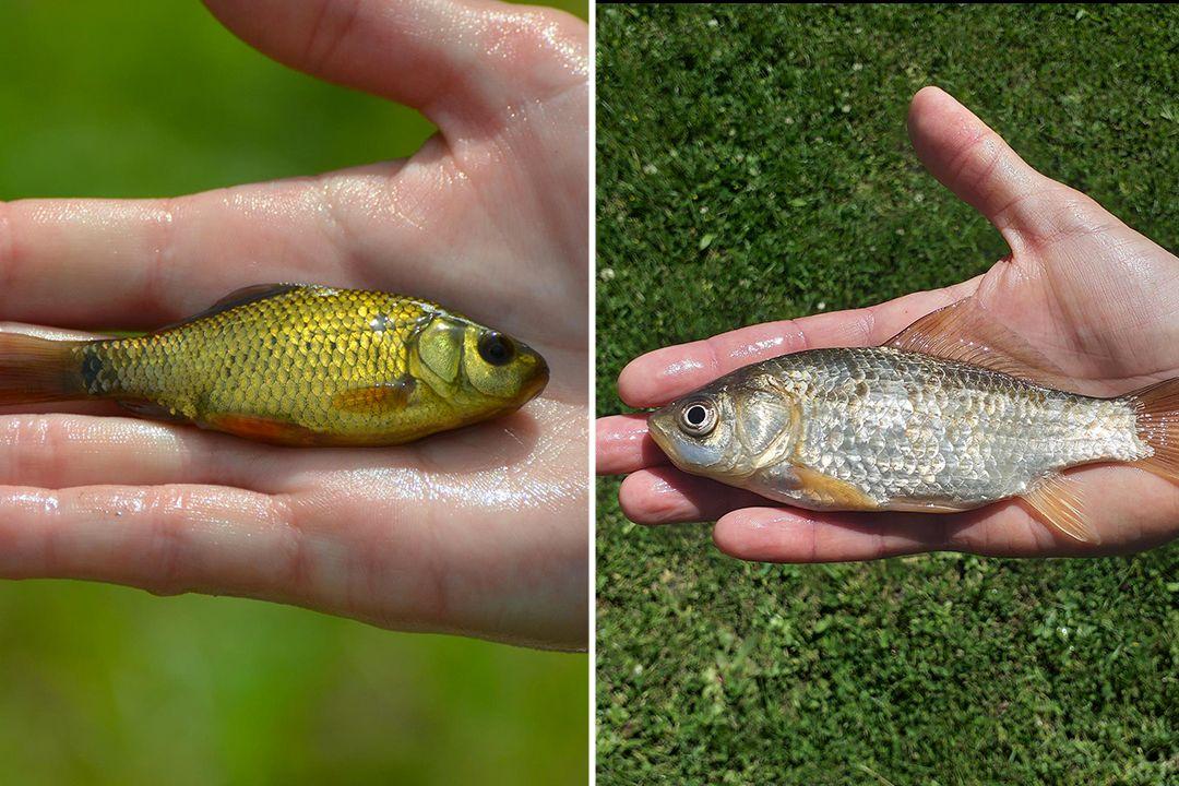 Vlevo karas obecný, vpravo karas stříbřitý