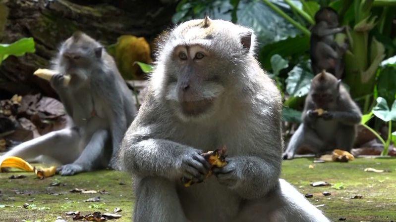 Opice na Bali bez turistů strádají, kradou jídlo u vesničanů