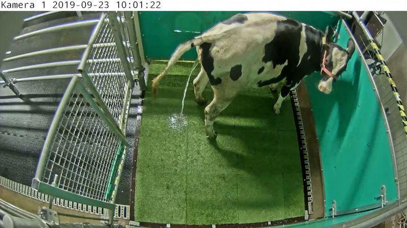 Němečtí vědci učí chodit krávy na záchod