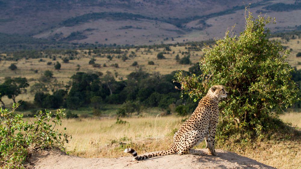 Safari v Keni je bezohledný masový hon na divoká zvířata