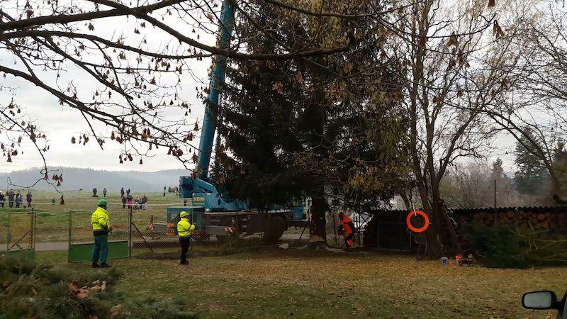 Vánoční strom pro Prahu je pokácený