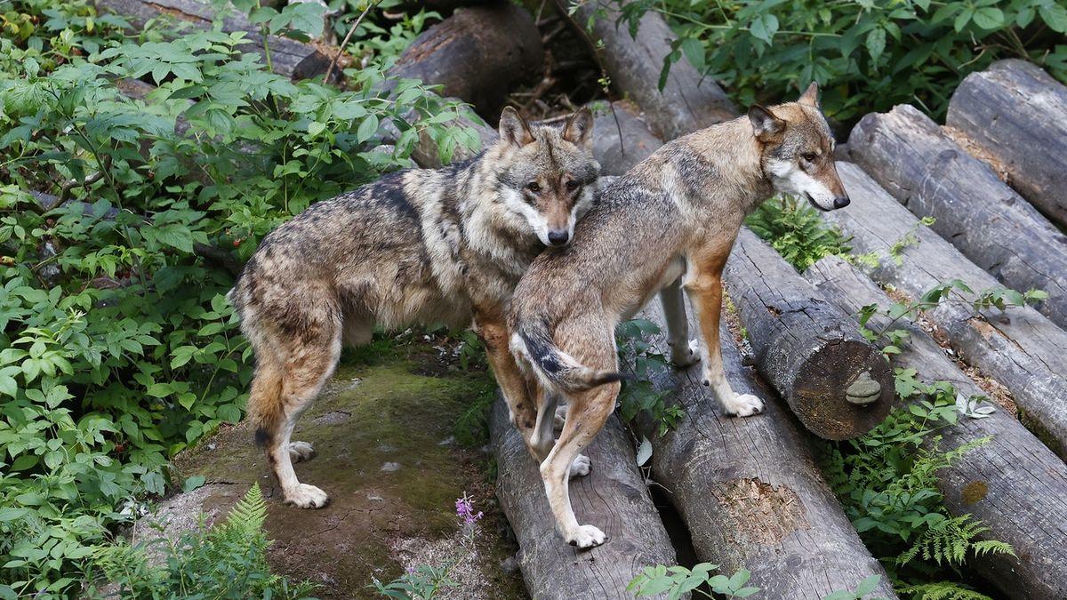 Vlky na psy změnil přebytek masa lovců