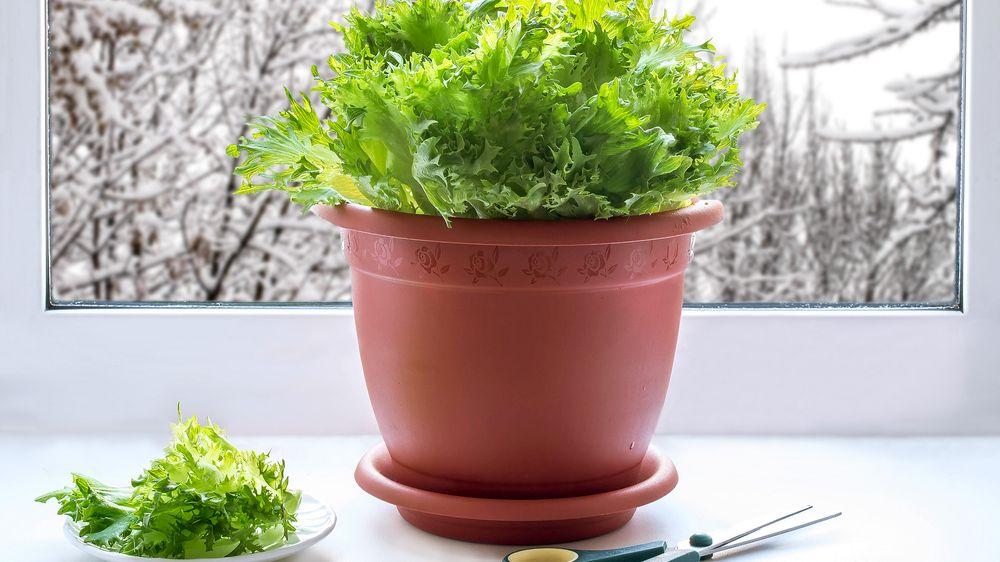 Pěstování za oknem: V zimě zpestří jídelníček klíčky, bylinky a třeba i vlastní rajčata