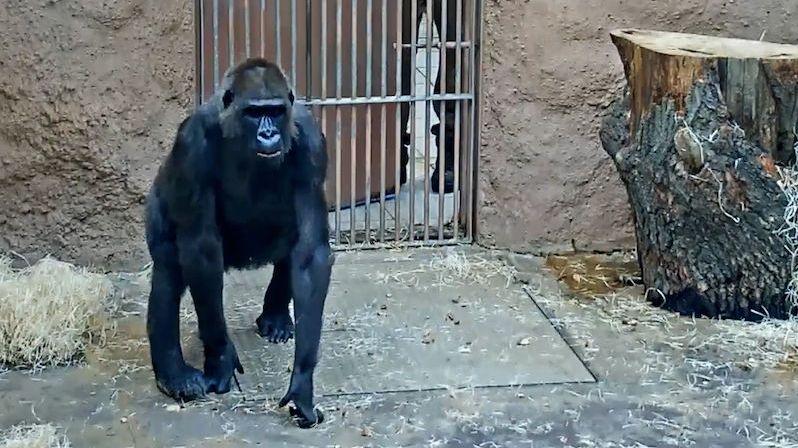 V pražské zoo uhynula gorila Bikira
