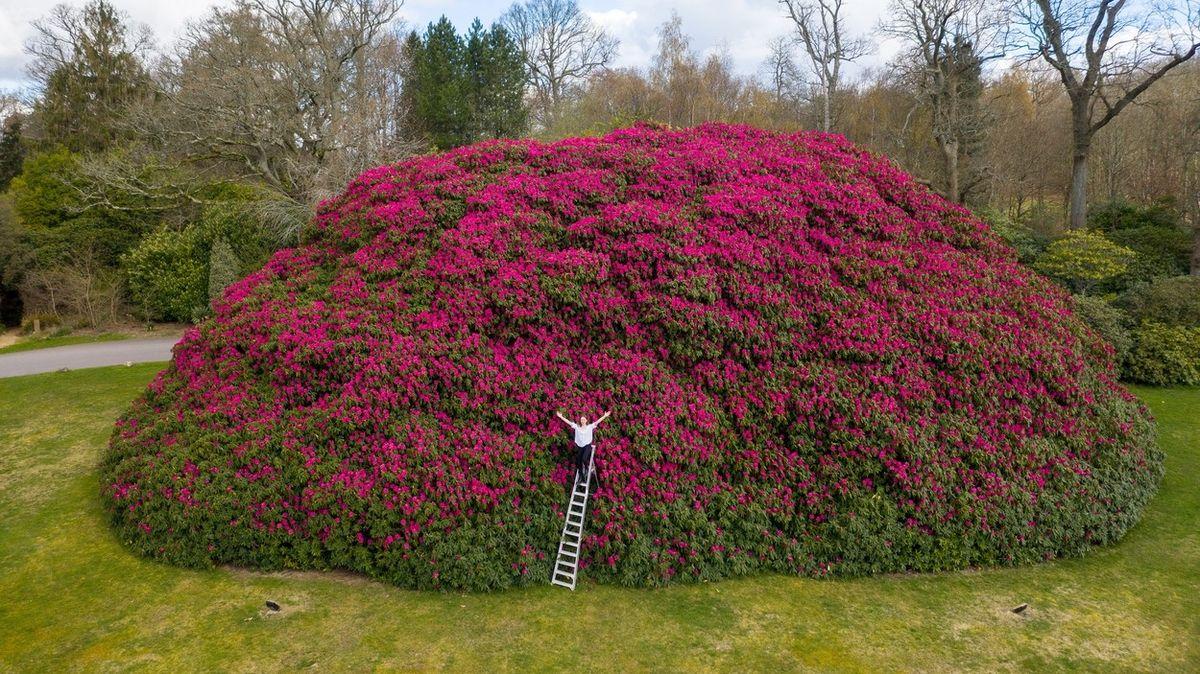 Největší britský rododendron rozkvetl. A je na co se dívat