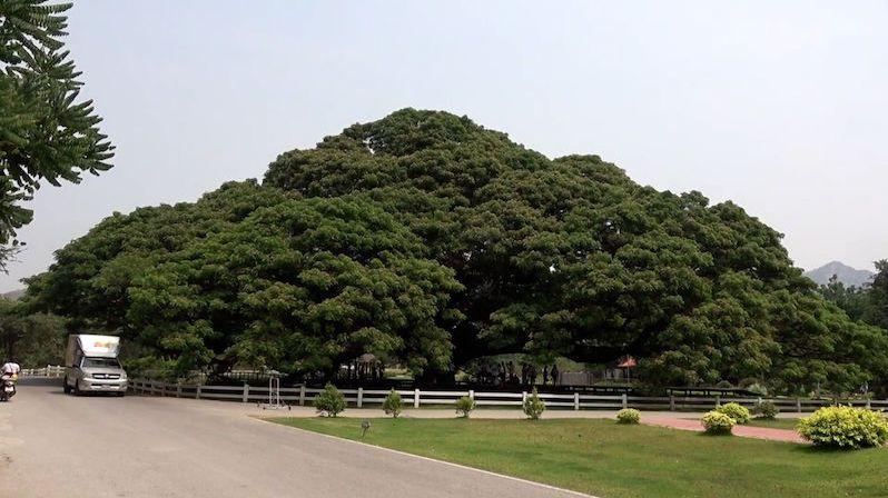 Obří strom v Thajsku se stal turistickým hitem. Vrhá stín o rozloze 1600 metrů čtverečních