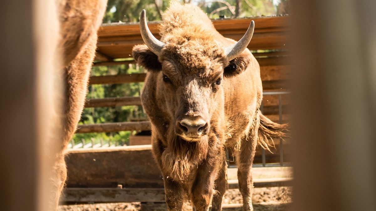 Táborská zoo odchytila dva zubry, kteří před týdnem unikli poničeným plotem