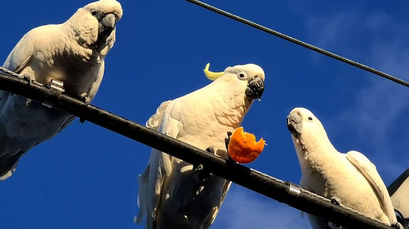 Roztomilá scénka: trio divokých kakadu se na drátě hádalo o mandarinku