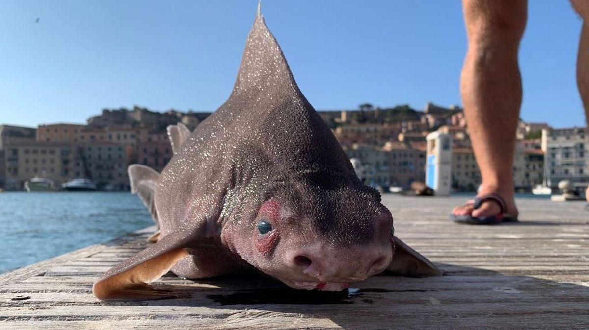Ze Středozemního moře vytáhli bizarního žraloka