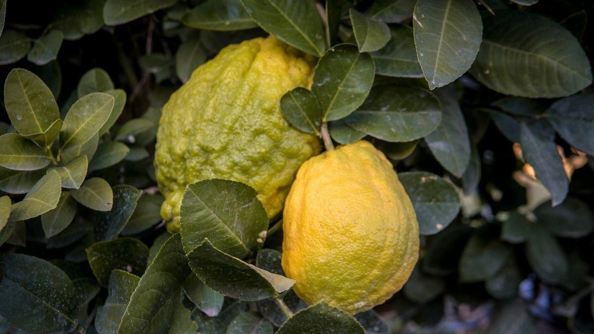 Kuchařka se pochlubila obřím citrusovým hybridem