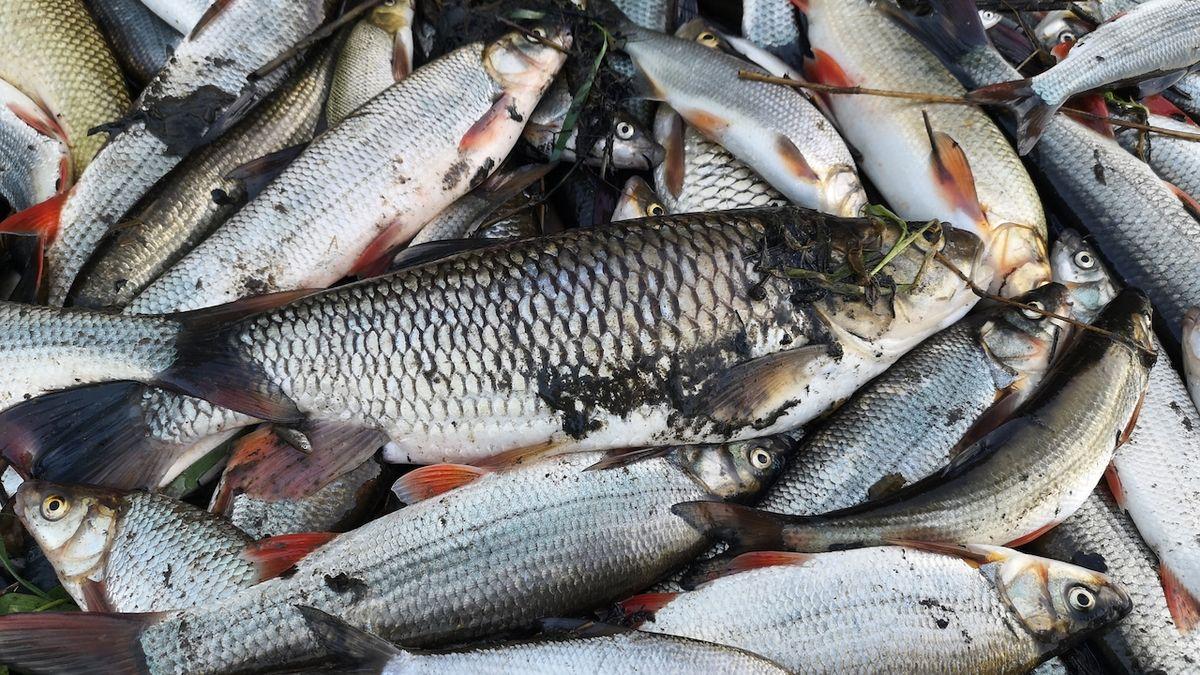 V neděli 20. září 2020 zahubil v Bečvě kyanid a další chemické látky více než čtyřicet tun ryb.