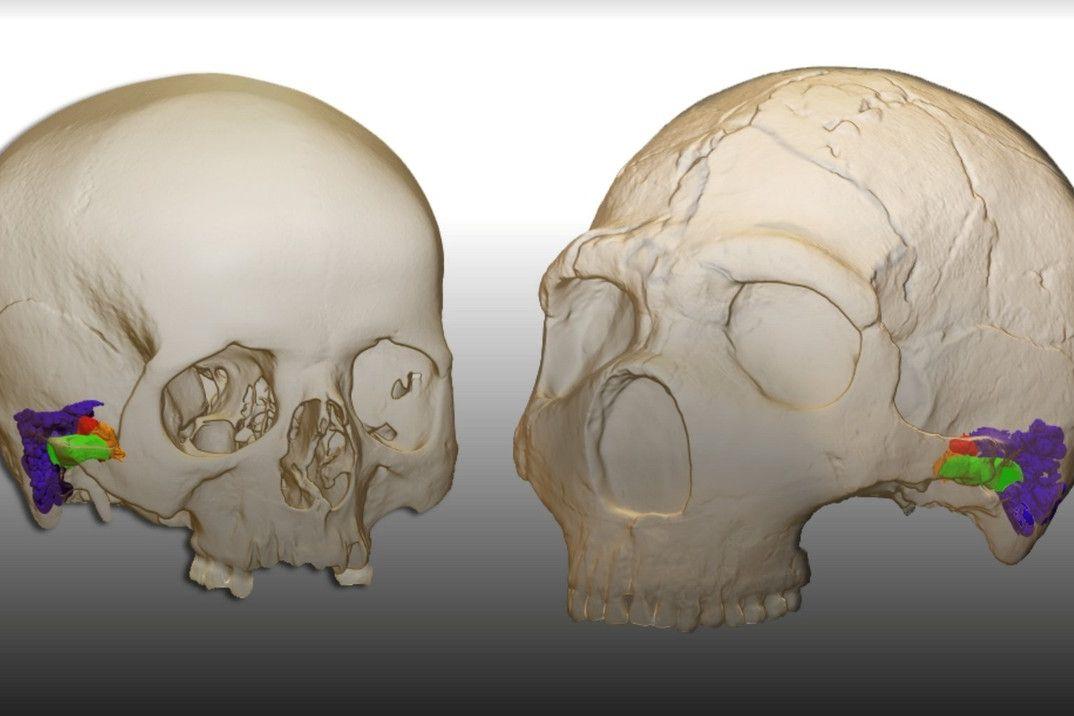 3D model a virtuální rekonstrukce ucha moderního člověka (vlevo) a neandertálce