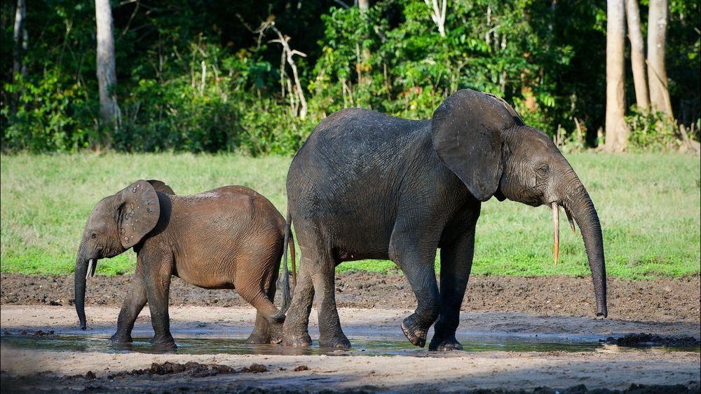 Zimbabwe chce přilákat turisty na odstřel kriticky ohrožených slonů