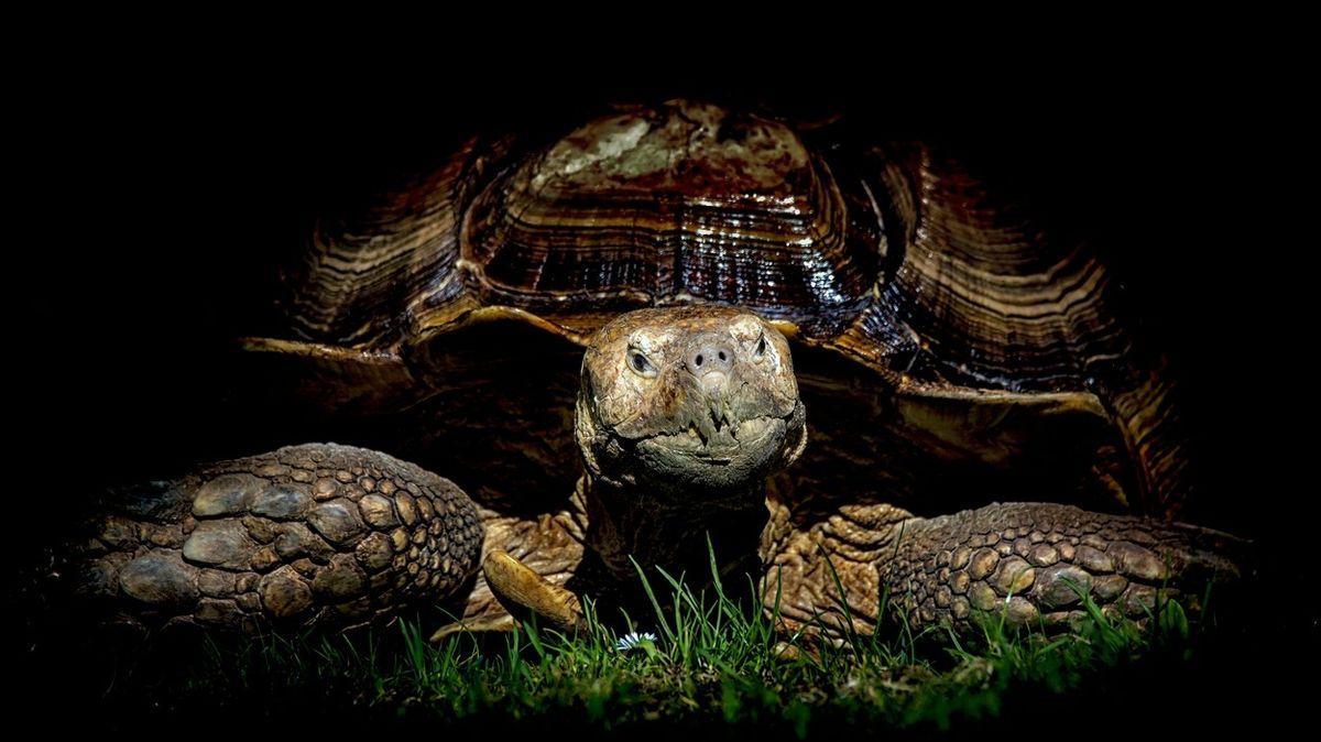 Želvák Helmuth nemůže chodit. Od ošetřovatelů dostal vozíček