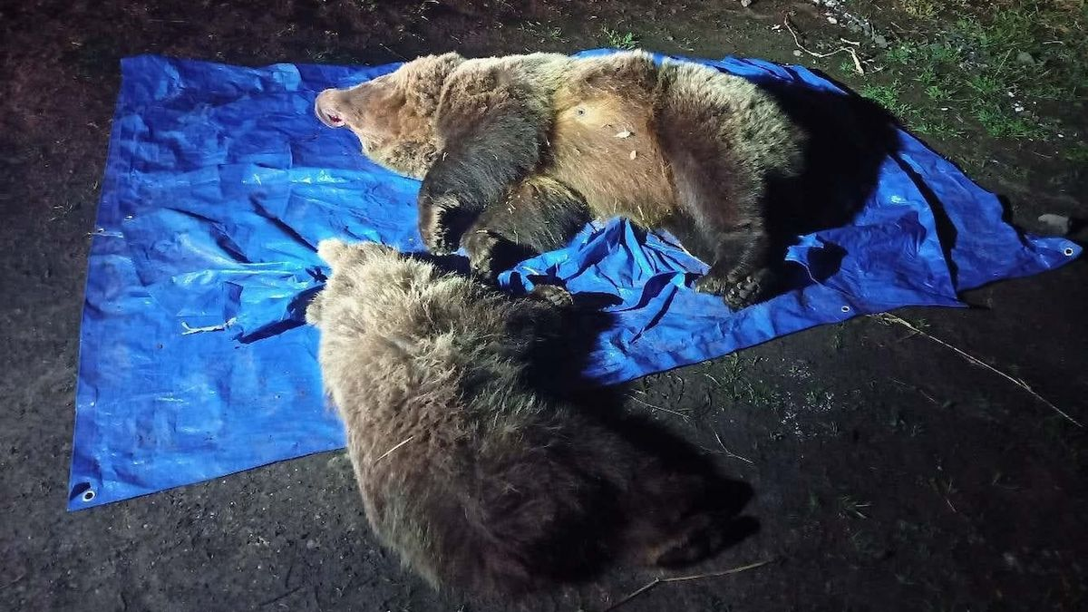 V Tatrách utratili medvědici s mládětem