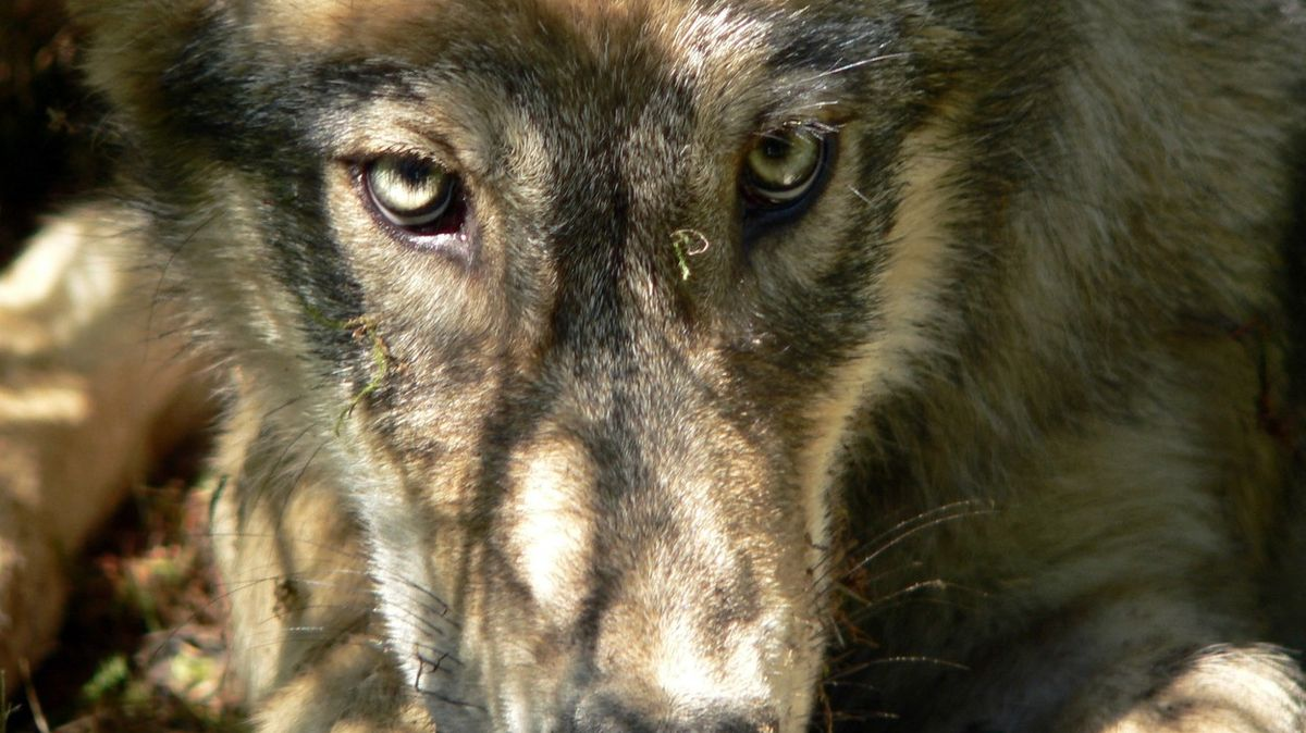 Americký stát Idaho chce odstřelit 90 procent vlků