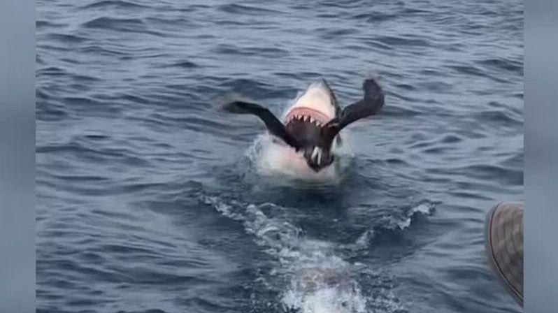 Žralok spolkl buřňáka, kradl mu potravu
