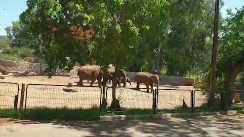 Při raketovém poplachu chránily slonice svá mláďata