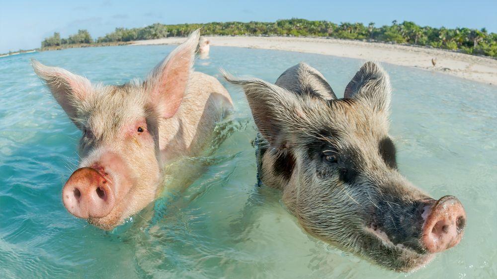 FOTO: Na bahamské pláži si mohou lidé zaplavat s nevšedními obyvateli