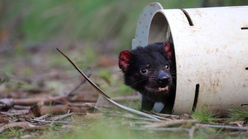 V kontinentální Austrálii se narodili tasmánští čerti. Po třech tisíciletích