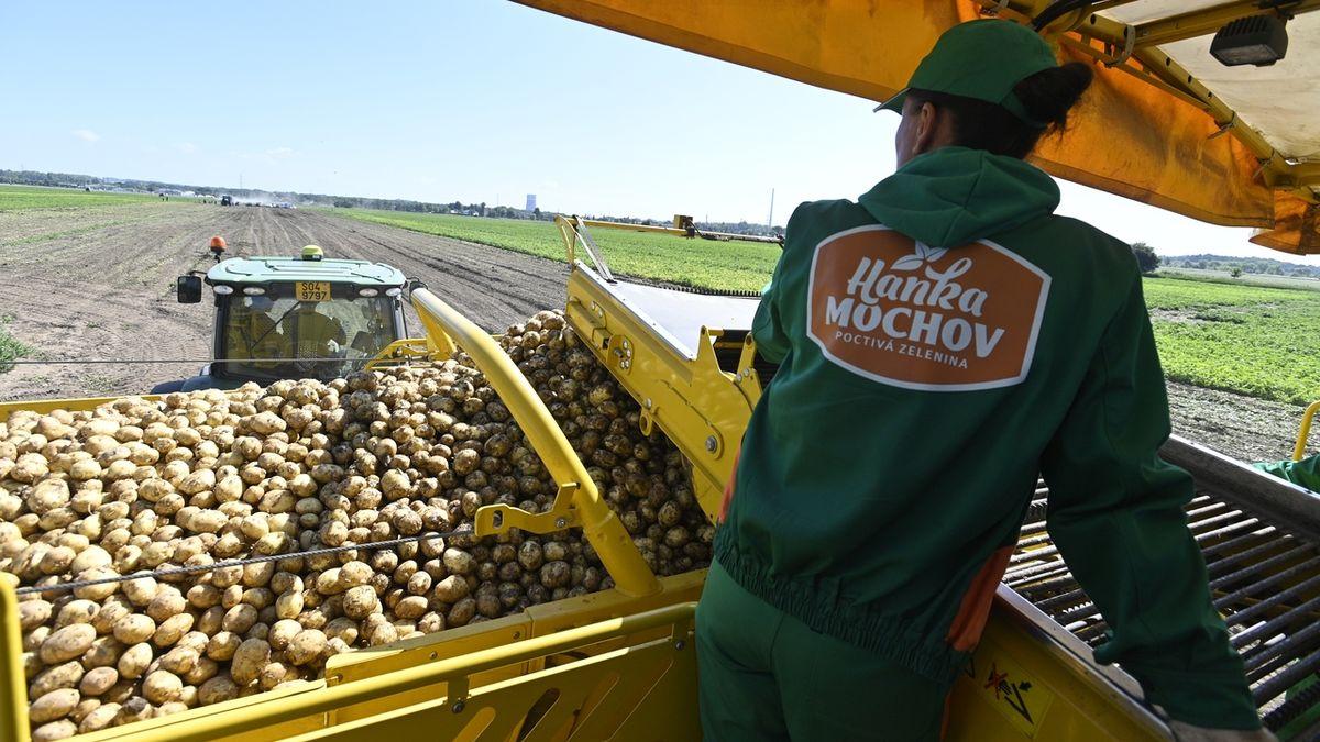 Tuzemské rané brambory už míří na pulty obchodů