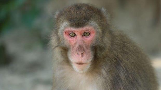 Přeprala alfasamici, pak si vyšlápla i na alfasamce. A vede tlupu makaků