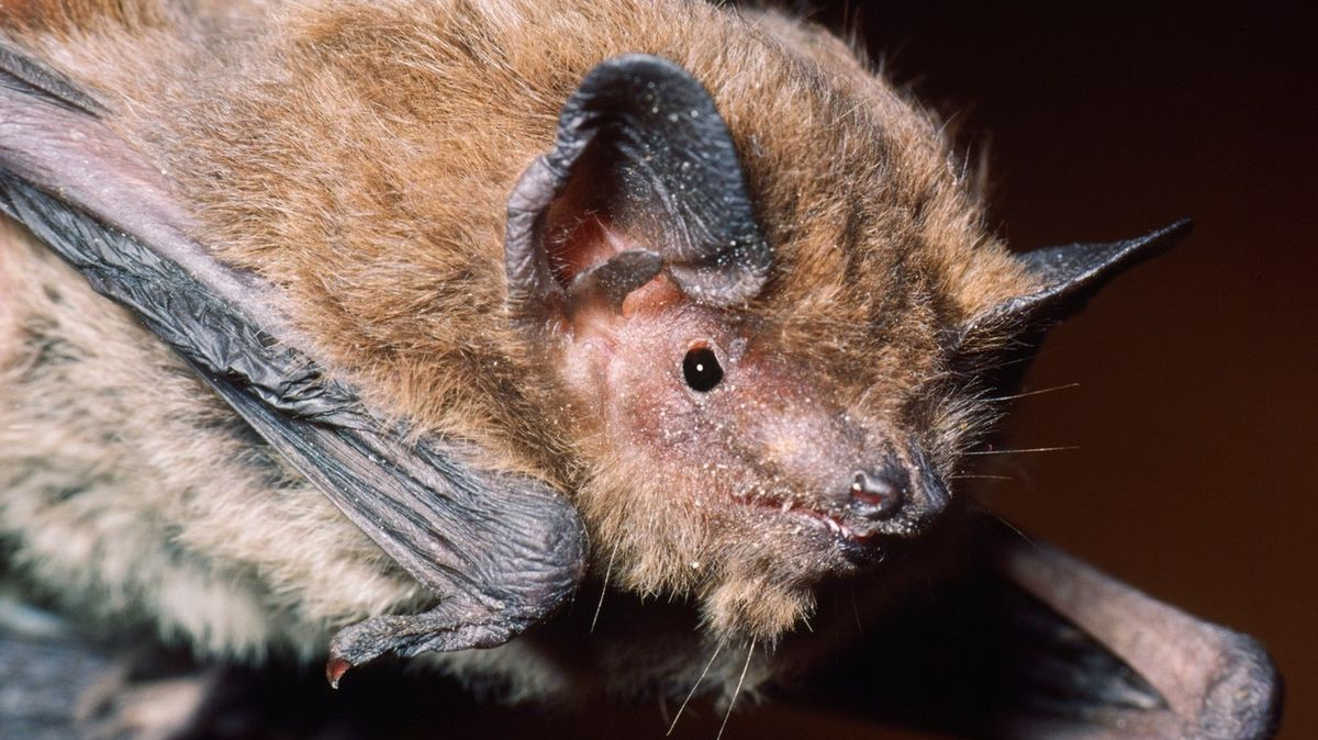 Samička netopýra urazila rekordní vzdálenost, v Rusku ji ale zabila kočka