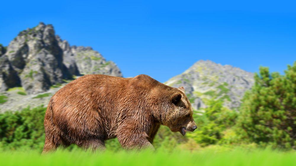 Turista chtěl v polských Tatrách selfie s medvědem, šelma ho zranila