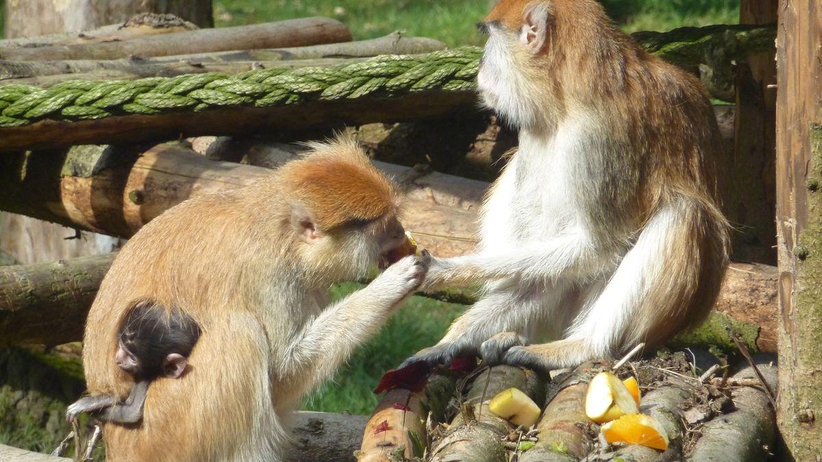U opic z Liberce a Olomouce objevili vědci nové bakterie