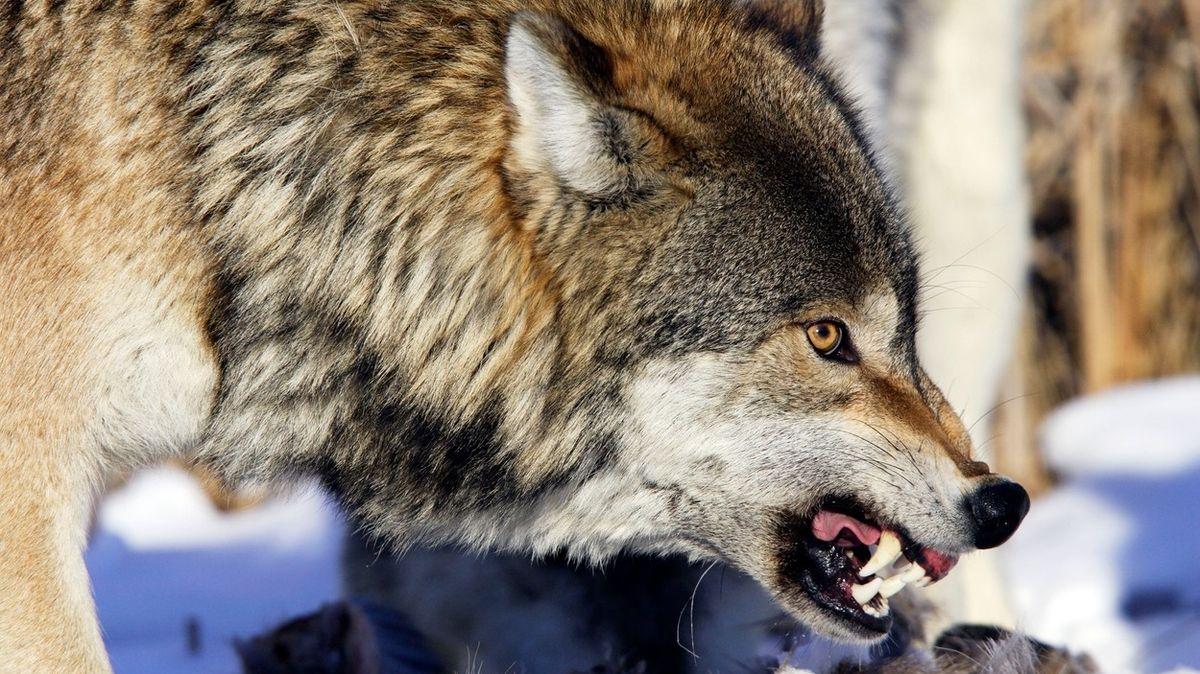 Ruský farmář zabil holýma rukama vzteklého vlka