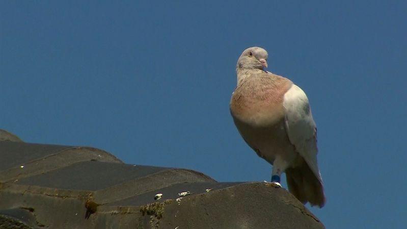 Závodní holub urazil rekordní vzdálenost, místo odměny mu teď hrozí smrt