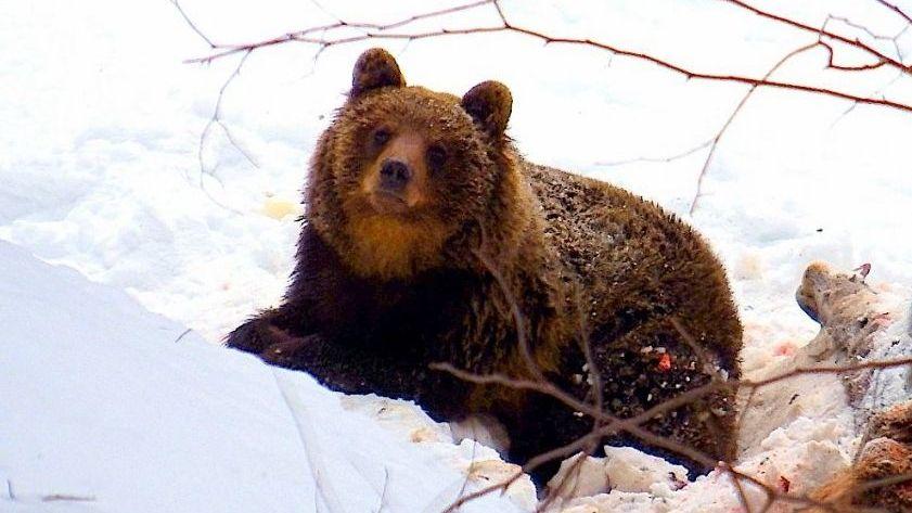 Slovák přežil útok medvědice, která chránila mláďata