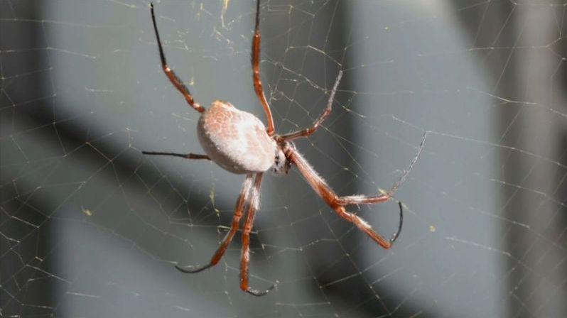 Co pavouk, to muzikant. Vibrace pavoučích sítí přepsali vědci na noty