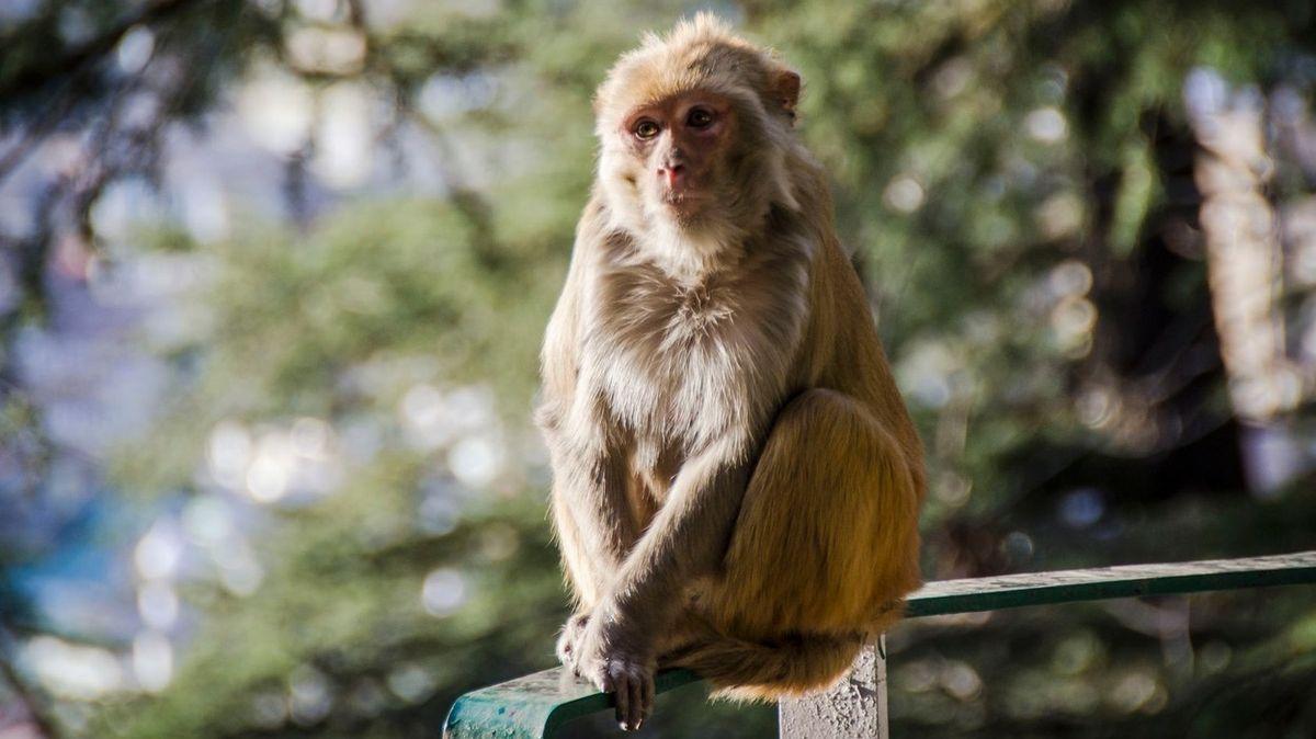 Opice v Indii ukradly laborantovi vzorky krve nakažené koronavirem