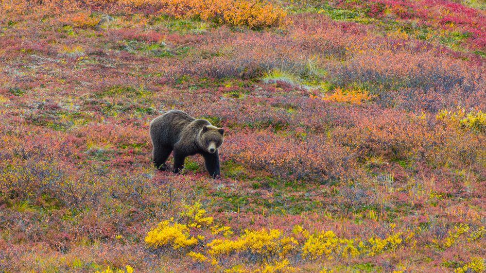 Na Aljašce objevili zoufalého muže, kterého několik dní týral grizzly