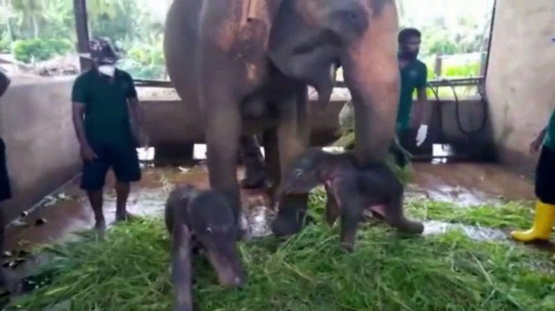 Poprvé po 80 letech se v zajetí narodila sloní dvojčata