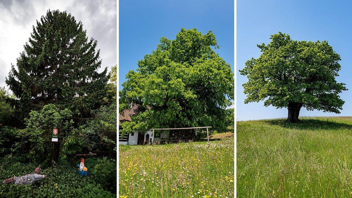 Stane se Stromem roku Zpívající lípa, Dubisko valašisko nebo brněnský smrk? Zbývá jen týden hlasování