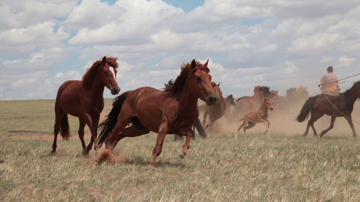 Dnešní domácí koně mají jediného předka